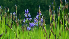 Lavender in my garden - stock footage
