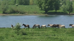 Konik horses, herd moves alongside river Waal Stock Footage