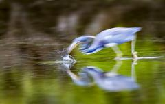 Tricolored Heron going for kill - stock photo