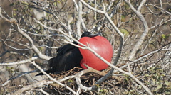 Male frigatebird on isla genovesa in the galalagos islands, ecuador Stock Footage