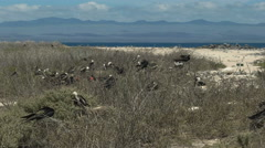 Wide shot of frigatebirds nesting in the galalagos islands Stock Footage