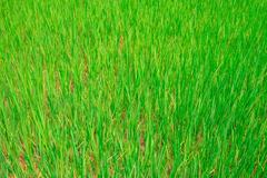 Green rice field in Vietnam, Southeast Asia - stock photo