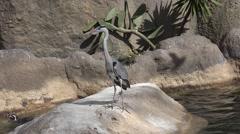 The herons (Ardeidae) Stock Footage