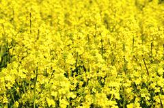 Detail of yellow flowering oilseed rape - an agricultural crop - stock photo