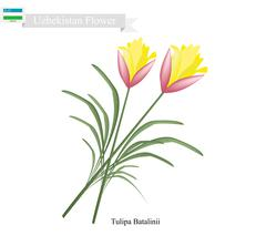 Tulipa Batalinii Flowers, The Popular Flower of Uzbekistan Stock Illustration