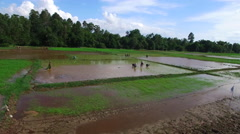 Aerial view of farmers planting the rice in Cambodia Stock Footage