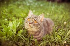 lovely British kitten in a green grass - stock photo