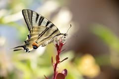 swallow tail butterfly machaon close up portrait macro - stock photo