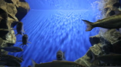 Covey of baikal omul swim in artificial reservoir in oceanarium Stock Footage
