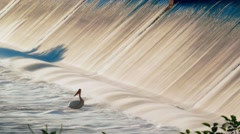 Time lapse of patient pelican waiting by dam for a fish to catch Stock Footage
