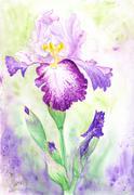 Iris Watercolor Botanical Illustration Stock Illustration