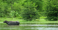 Yala park in Sri Lanka. Wild animal Water Buffalo makes loud calling sound Stock Footage