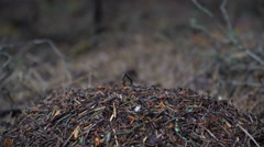 Ant colony in the forest Stock Footage