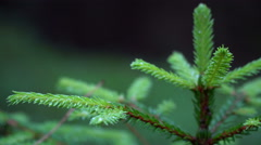 Young fir in the forest close up Stock Footage