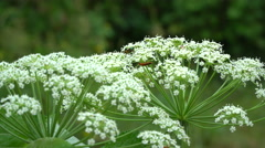 Interesting bugs on the hogweed blossom Stock Footage