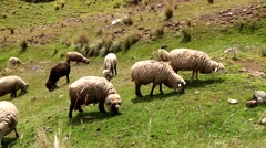 Sheep flock in Andes of Peru, South America Stock Footage