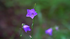 Three purple blossoms in the forest Stock Footage
