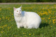 White maine coon cat seats on grass Stock Photos