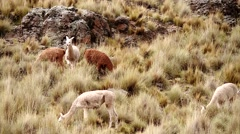 Aplaca, Lama flock in meadowland of Andes in Peru, South America Stock Footage