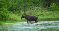 Bubalus Bubalis Asian Water Buffalo in wild nature of Sri Lanka - stock footage