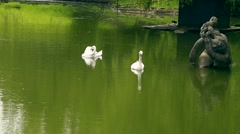 White swans in summer sunny day on Lake - stock footage