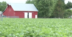 Soybean Field with Barn in Background - 4k Stock Footage