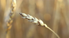 Closeup view of wheat ear Stock Footage