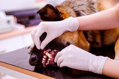 Veterinarian examining German Shepherd dog with sore mouth Stock Photos