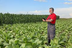 Farmer or agronomist inspect tobacco field - stock photo