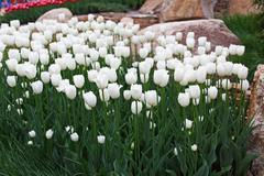 Beautiful white tulips flowerbed closeup. Flower background Stock Photos