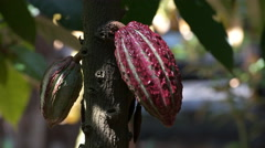 Colorful purple cacao pods on a tree in ecuador Stock Footage