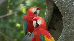 pair of scarlet macaws resting on a tree in ecuador - stock footage