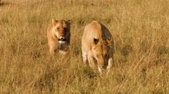 Lions walking in grass, Masai Mara National Park, Kenya Stock Footage