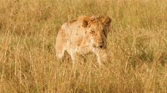 Lion walking in grass, Masai Mara National Park, Kenya Stock Footage