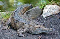 Freshwater crocodile on a river bank Stock Photos