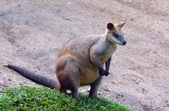 Portrait of Agile wallaby in Queensland  Australia Stock Photos