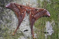 Hercules Moth rest on a tree Stock Photos
