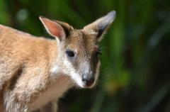 Agile wallaby in Queensland  Australia Stock Photos