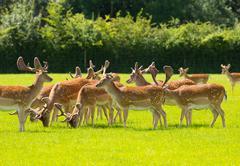 Deer herd new Forest Hamphire England UK - stock photo