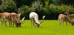 White deer and red deer the New Forest England UK - stock photo