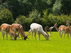 Deer grazing with antlers New Forest England UK in a field in summer - stock photo