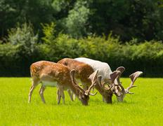Deer grazing with antlers New Forest England UK - stock photo
