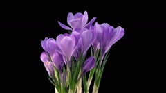 Time-lapse of growing purple crocus in RGB + ALPHA matte format - stock footage