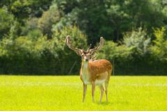 Deer with antlers New Forest England UK - stock photo