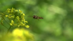 Insect Hoverfly, Simosyrphus grandicornis macro, fly hovering or nectaring, 4k Stock Footage