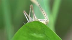 Insect, Grasshopper sitting on green leaf, field, garden, 4k Stock Footage