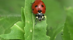 Red Ladybug sits on green leaf, beetle, Insect, macro, 4k - stock footage