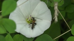 Longhorn beetle, Alosterna tabacicolor, bug sitting on white flower, macro Stock Footage