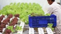 Thai farmer working in hydroponic farm from Hyroponic fastival Stock Footage