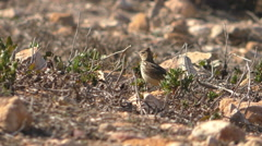 Thekla Lark bird on dry ground Stock Footage